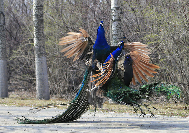 bird-nature-feather-peafowl-no-person picture material
