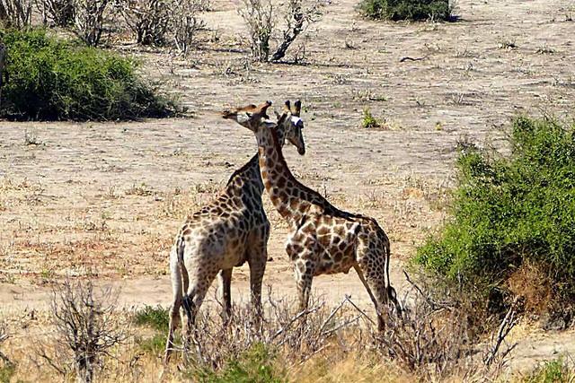 wildlife-mammal-nature-wild-giraffe picture material