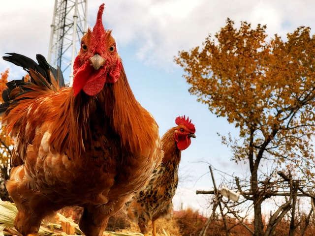 chicken-poultry-bird-beak-livestock 图片素材