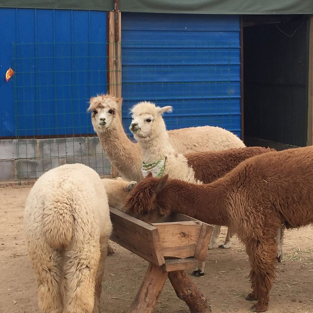 camel-mammal-merino-livestock-lama picture material