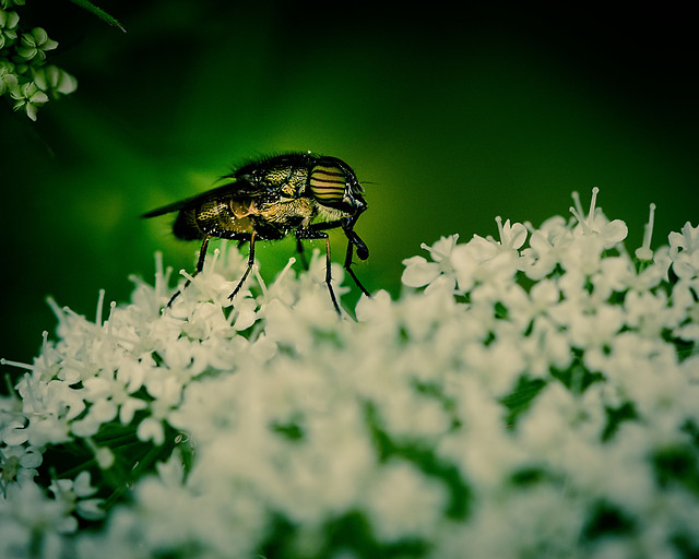 insect-nature-animal-flower-beetle picture material