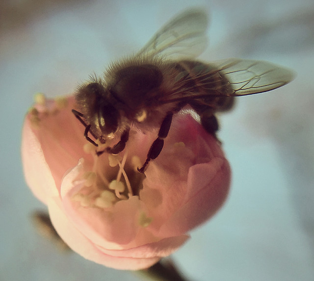 insect-flower-one-nature-honey-bee picture material