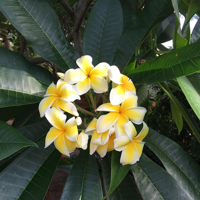 tropical-frangipani-plumeria-exotic-flora picture material