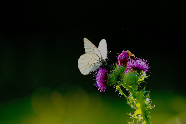 butterfly-nature-insect-flower-summer picture material