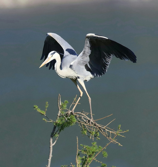 bird-wildlife-heron-animal-nature 图片素材
