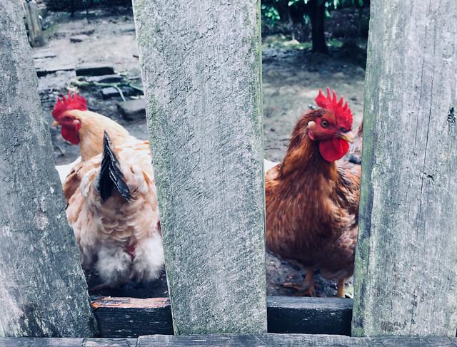 bird-poultry-domestic-chicken-animal 图片素材