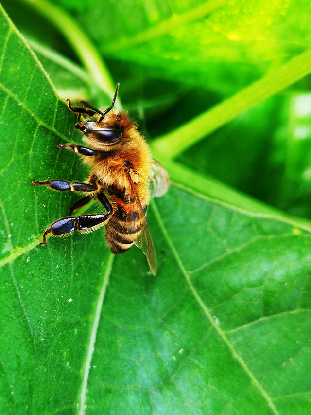 nature-insect-bee-honey-bee-animal picture material