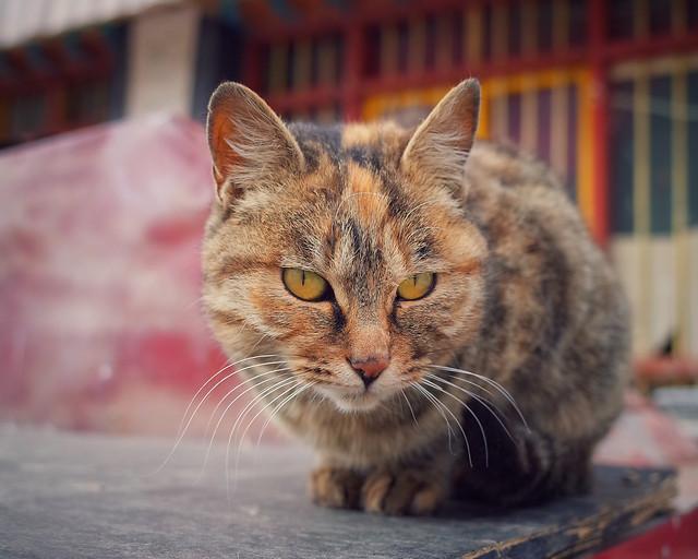cat-cute-mammal-pet-animal picture material