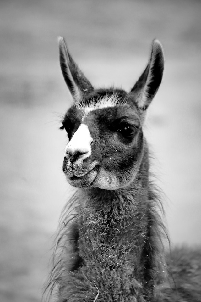 mammal-animal-portrait-llama-black-white 图片素材