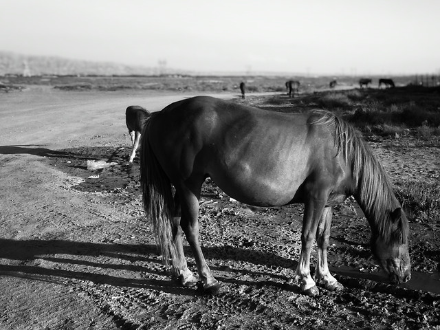 cavalry-mammal-monochrome-horse-mare picture material