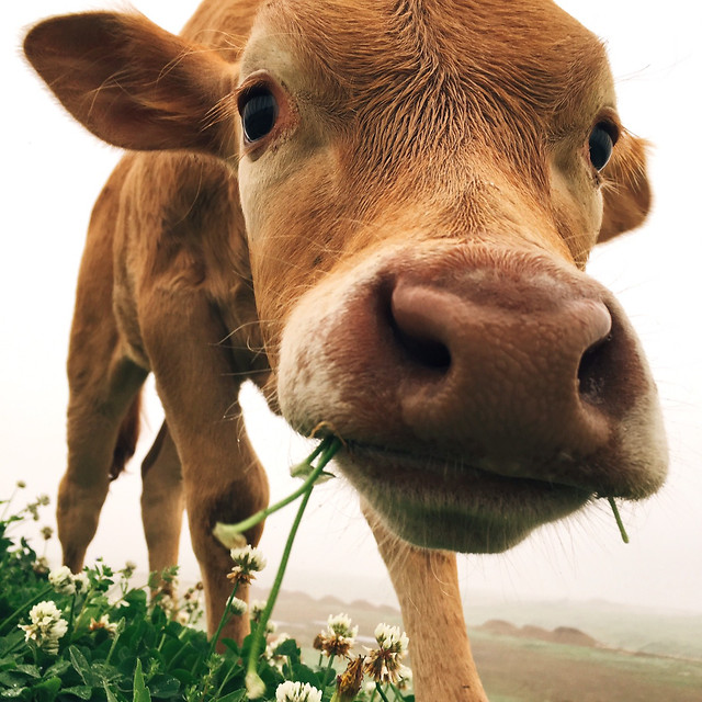 cow-farm-mammal-animal-grass picture material