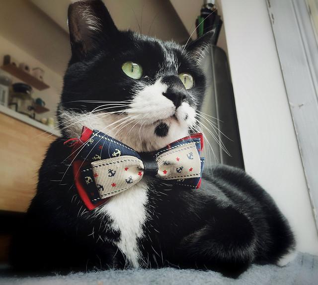 cat-pet-animal-domestic-portrait picture material