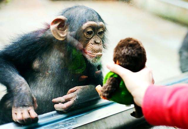 portrait-people-mammal-common-chimpanzee-vertebrate picture material