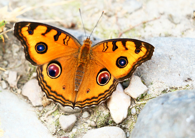 nature-butterfly-insect-wildlife-no-person picture material