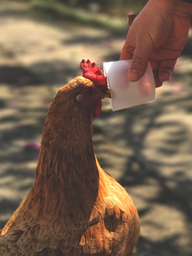 bird-no-person-poultry-chicken-nature 图片素材