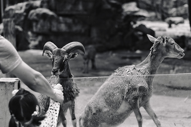 mammal-two-goat-group-people picture material