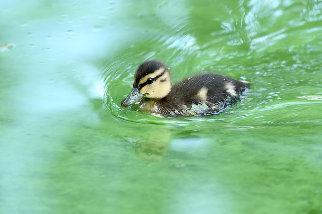 no-person-bird-duck-nature-wildlife picture material