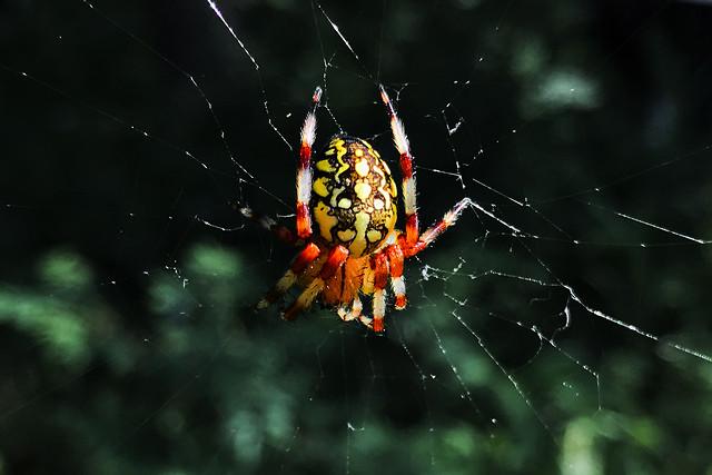 森林里色彩鲜艳的蜘蛛 picture material