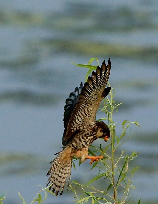 bird-raptor-wildlife-prey-feather picture material