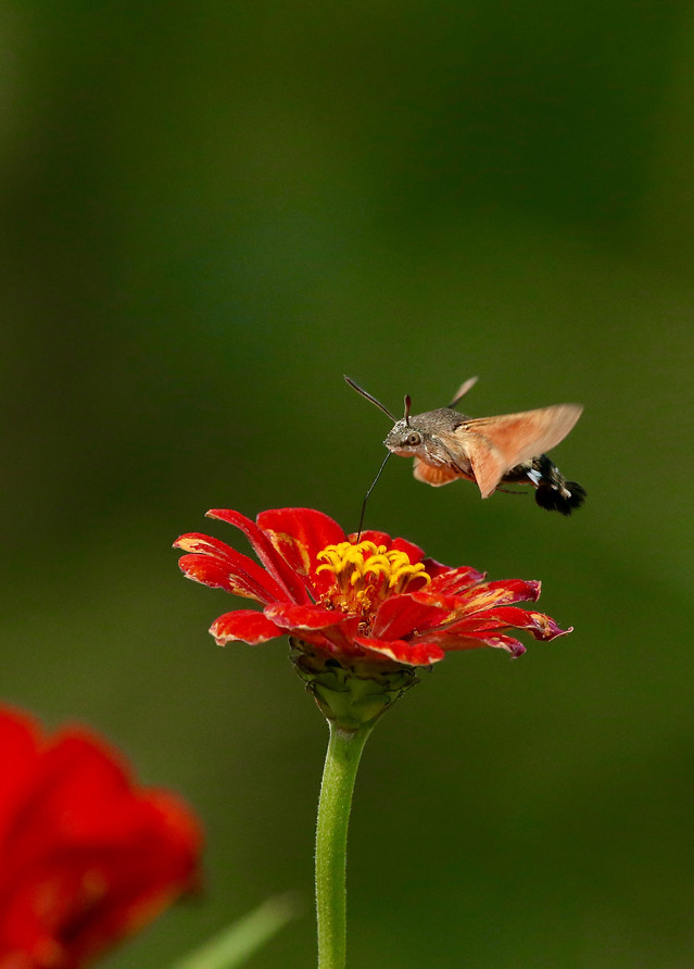 nature-insect-flower-butterfly-summer picture material