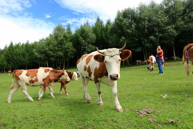 cow-livestock-mammal-milk-grass picture material