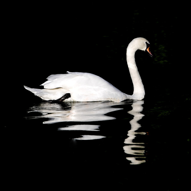 swan-water-bird-reflection-feather picture material