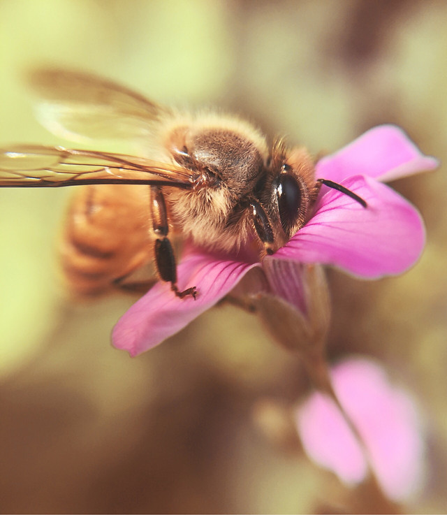 bee-nature-insect-honey-pollen picture material