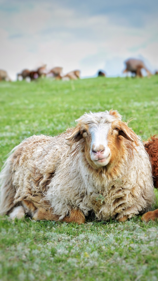 grass-mammal-sheep-farm-merino picture material