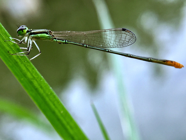 dragonfly-insect-damselfly-nature-fly picture material