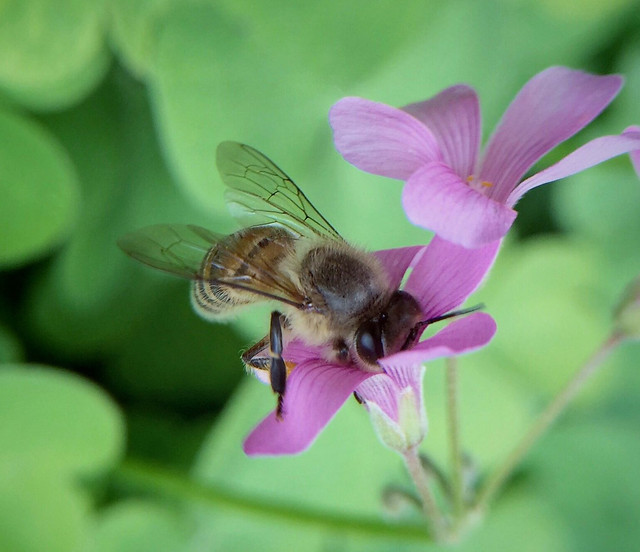 nature-insect-bee-pollen-summer picture material
