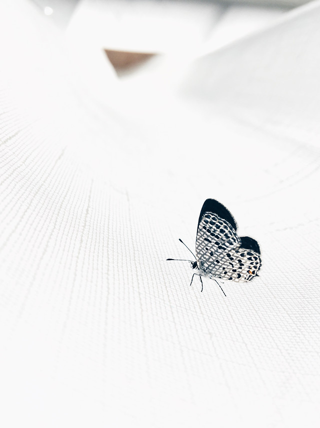 butterfly-insect-animal-nature-wing picture material