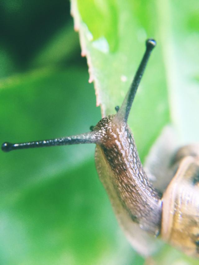 snail-slow-gastropod-invertebrate-slimy picture material