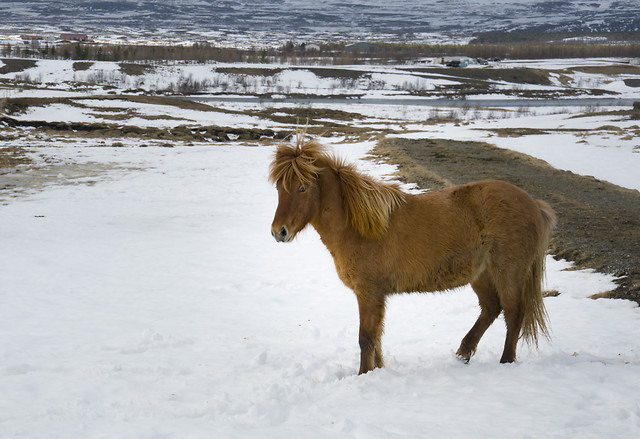 winter-snow-mammal-cavalry-horse picture material