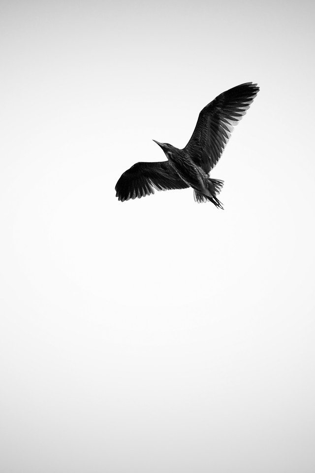 bird-wildlife-flight-no-person-black-white 图片素材
