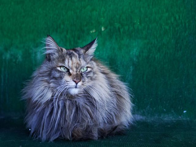 cat-cute-pet-portrait-eye picture material