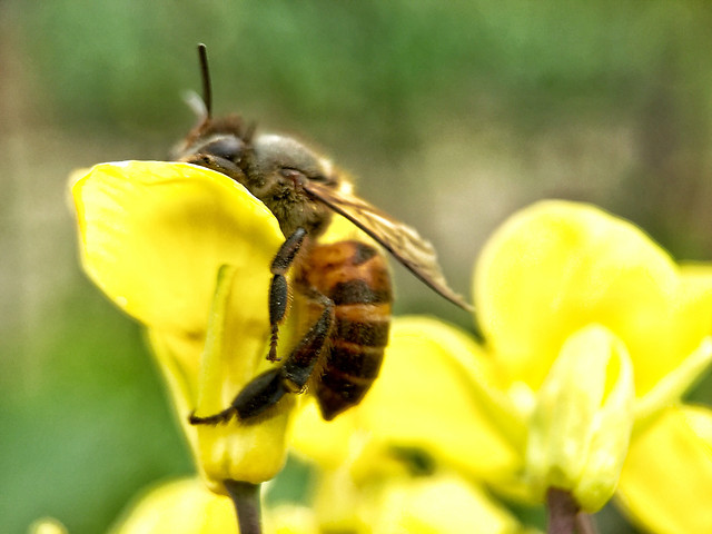 nature-bee-insect-honey-bee-honey picture material