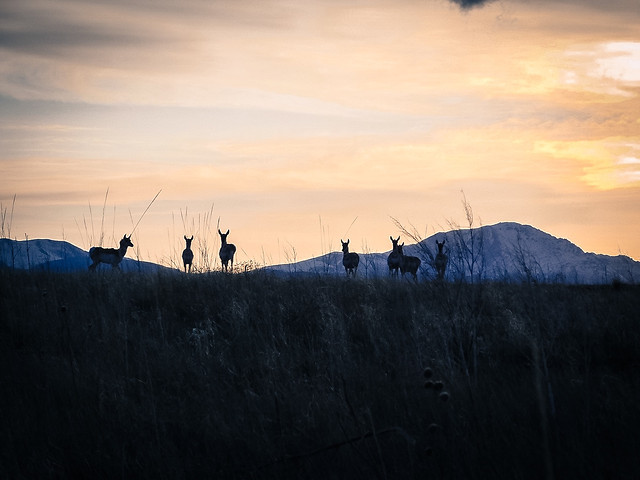 pronghorn-antelope-at-sunset picture material