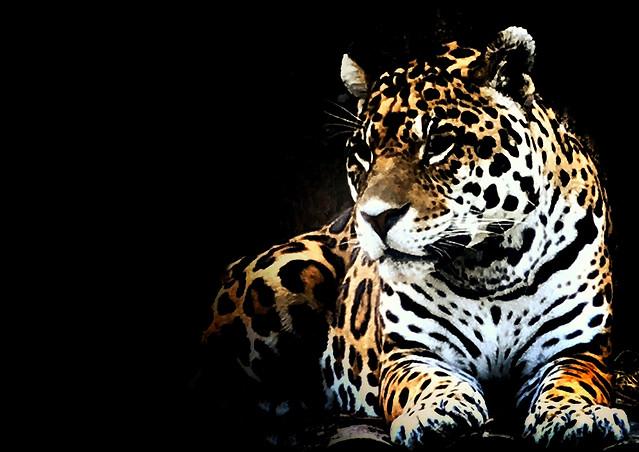 cat-wildlife-jaguar-leopard-mammal picture material