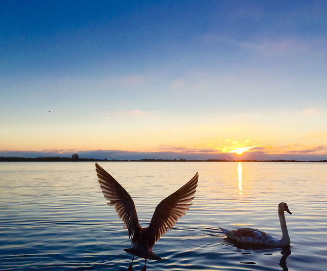 no-person-water-bird-sunset-swan picture material