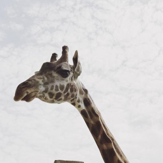 giraffe-wildlife-mammal-nature-no-person picture material