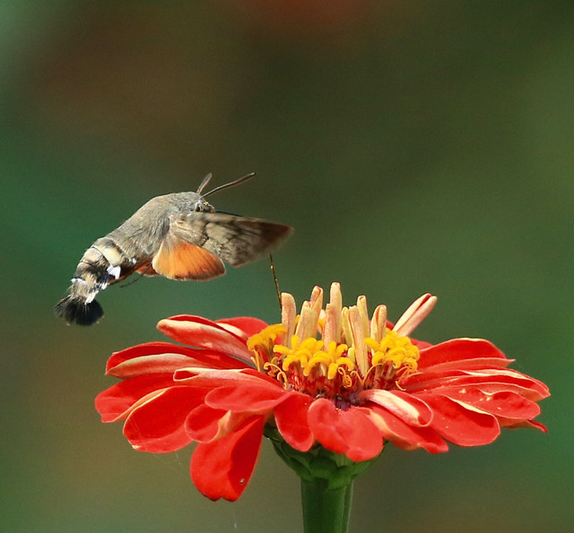 insect-nature-butterfly-flower-no-person picture material