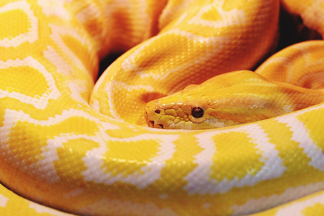 snake-exotic-reptile-python-no-person picture material
