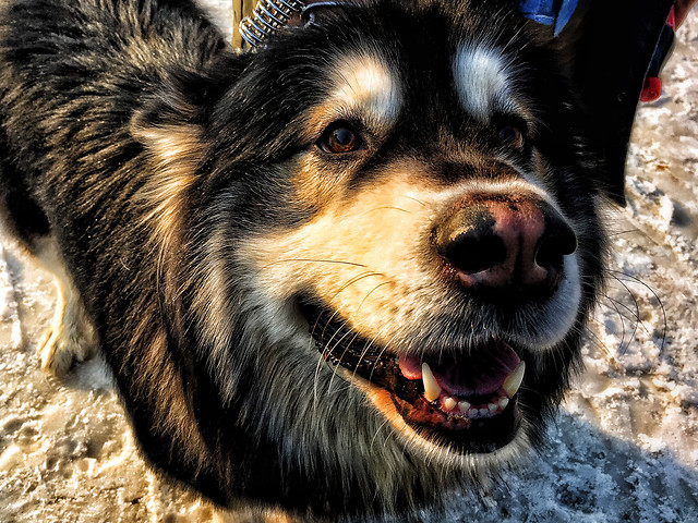 dog-mammal-canine-animal-pet picture material