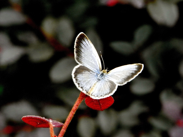 nature-butterfly-no-person-outdoors-insect picture material