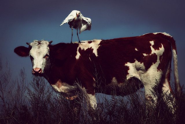 cow-agriculture-cattle-livestock-beef-cattle picture material