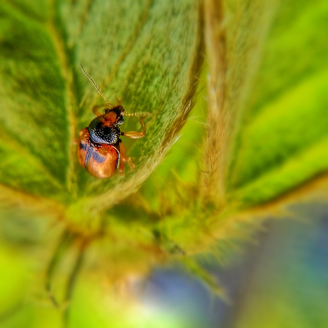 insect-ladybug-beetle-leaf-nature picture material