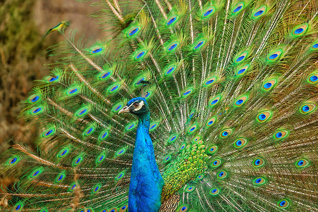 peacock-bird-feather-peafowl-vibrant picture material