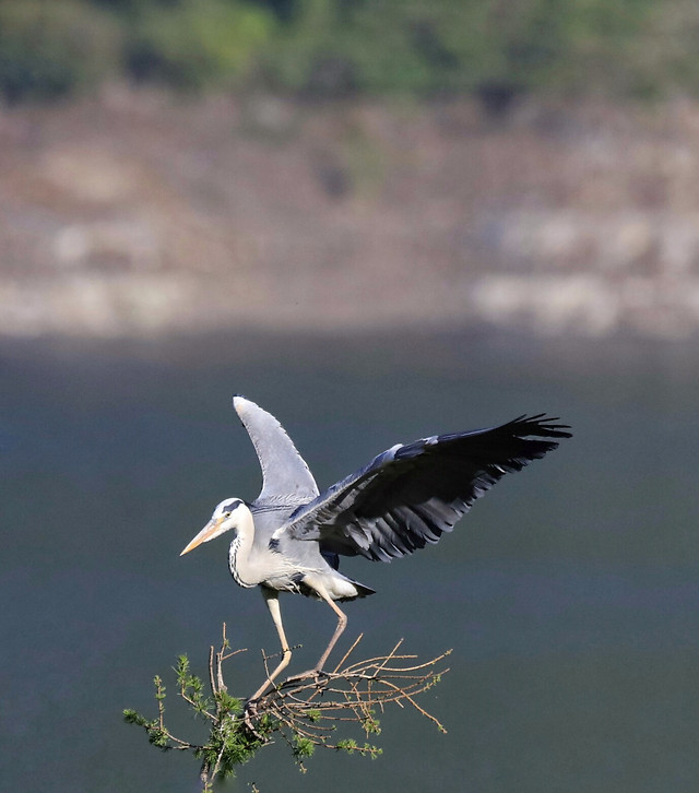 bird-wildlife-nature-heron-animal 图片素材