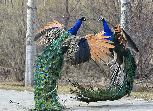 bird-feather-nature-peafowl-color picture material