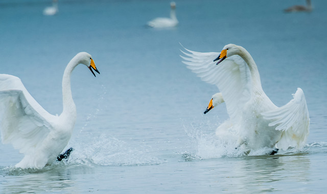 bird-nature-wildlife-swan-water picture material